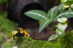 Small tropical frog, yellow and black