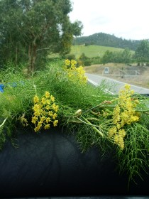 Collecting wild fennel on the roadside