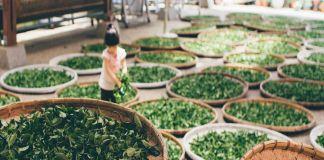 foglie di tè in essiccazione