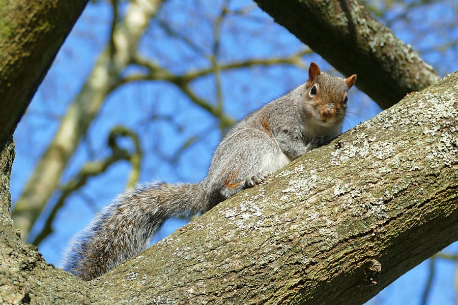 Squirrel in Hotham Park, Bognor Regis, West Sussex