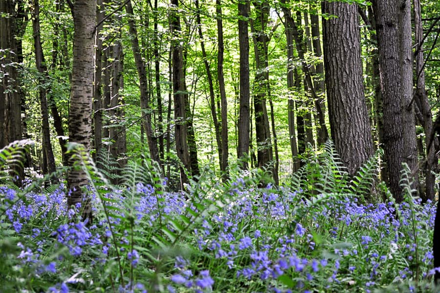 Bluebell Woods in Sussex