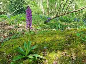 Early purple orchid, Nore Wood, West Sussex