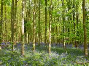 Bluebells in Nore Wood, West Sussex