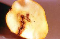 apple with worm damage