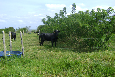 cow with trees and fence