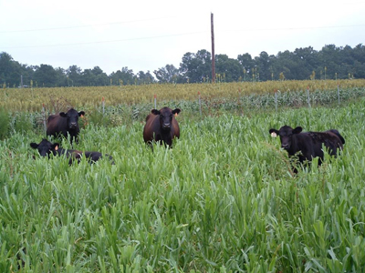 cows in pearl millet field