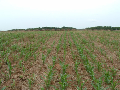 early sorghum plants in field