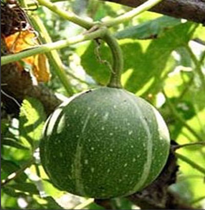 small green gourd that is a relative of pumpkin