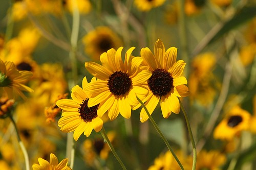 Yellow flower with brown seeds in the middle - a small sunflower relative