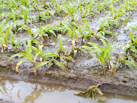 small corn plants in flooded fields