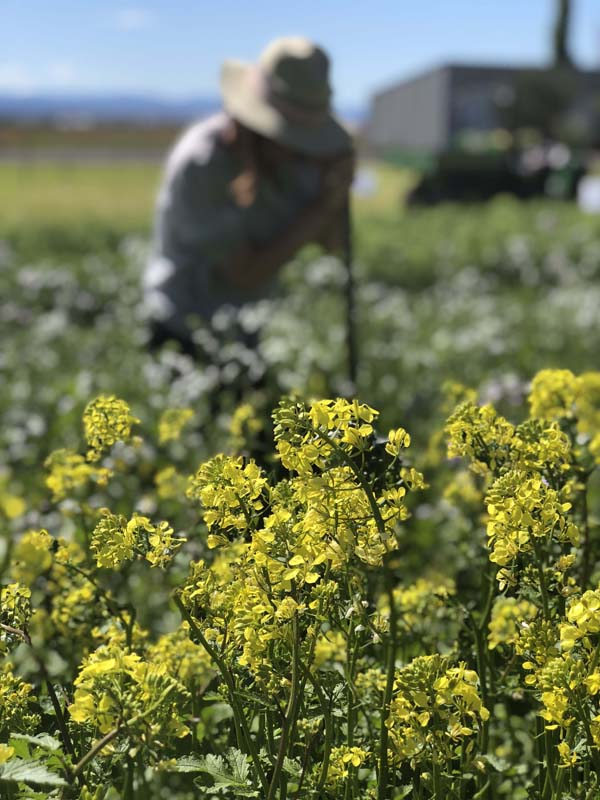 Yellow flowers of mustard lants with person wearing hat behind.