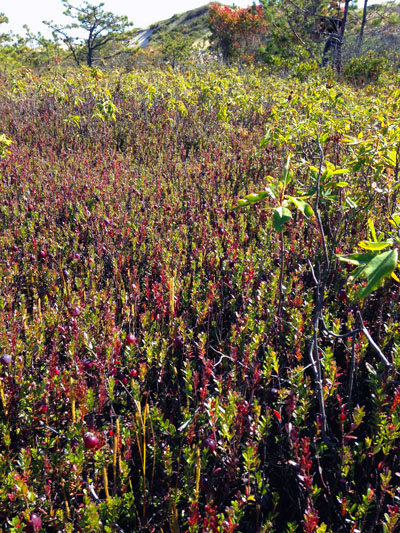 red berries of cranberries on green bushes