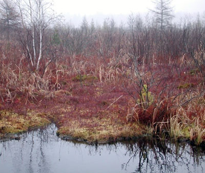 cranberry bog with red leaves in November.