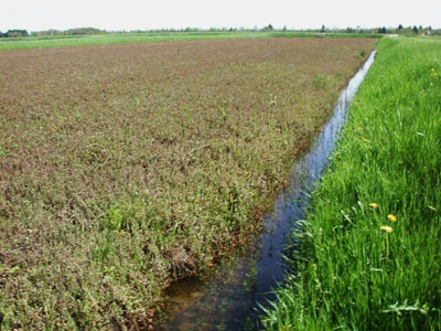 cranberry bog in spring with water in ditches