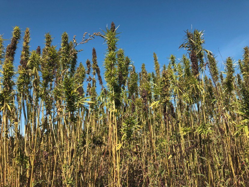 blue sky background with tall green plants with furry leaves on long stalks