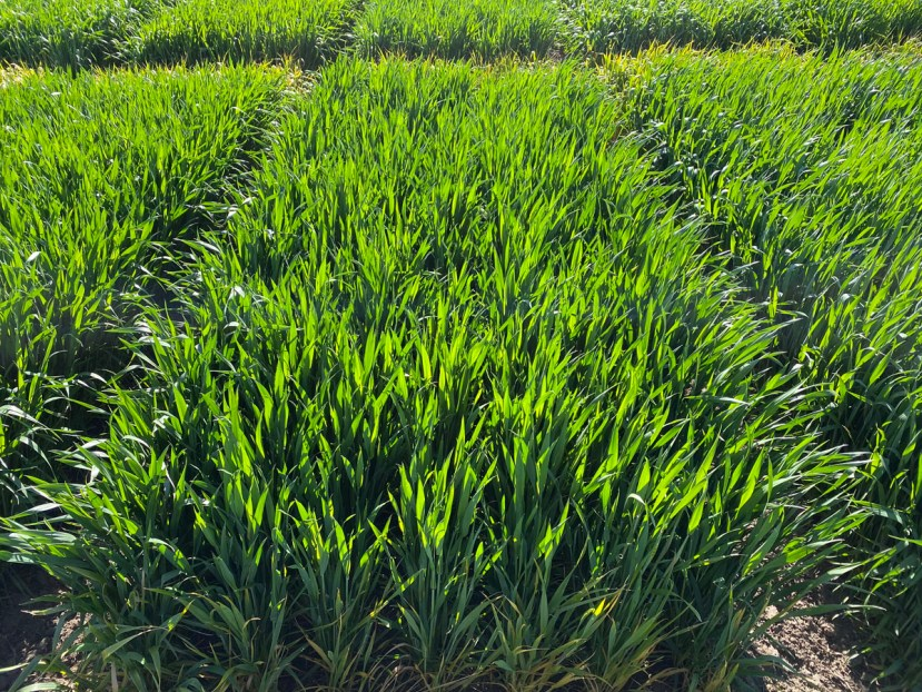 small plots of wheat separated in rows