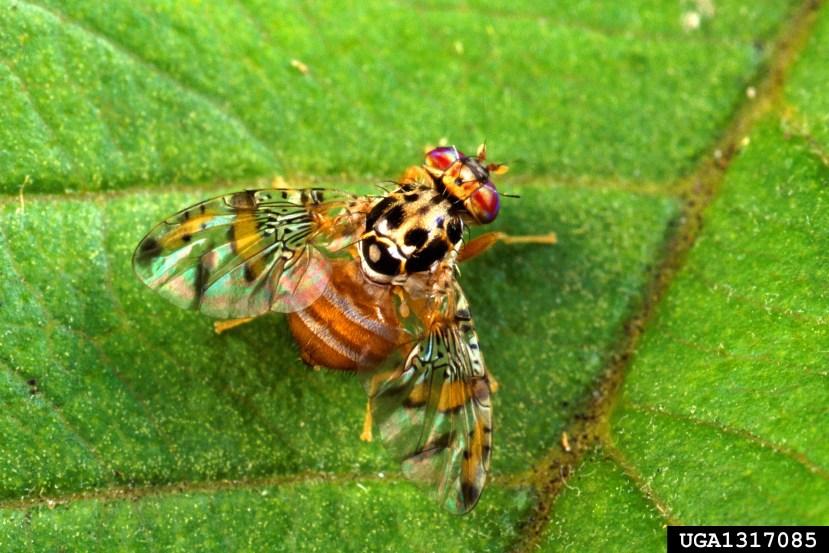 Mediterranean fruit fly on leaf