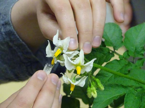 Hands holding a capsule about to touch the pistil of a white potato flower.