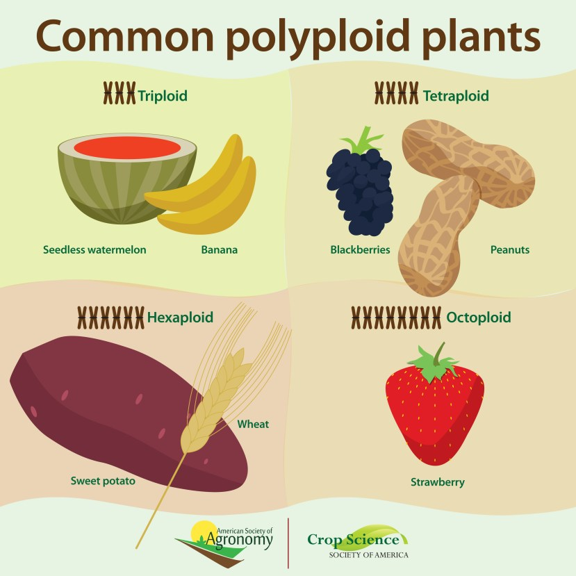 """Graphic with watermelon and banana under """"triploid"""", blackberries and peanuts under """"tetraploid"""", sweet potato and wheat under """"hexaploid"""", and strawberry under """"octoploid""""."""