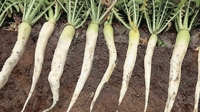 radishes and their roots in soil