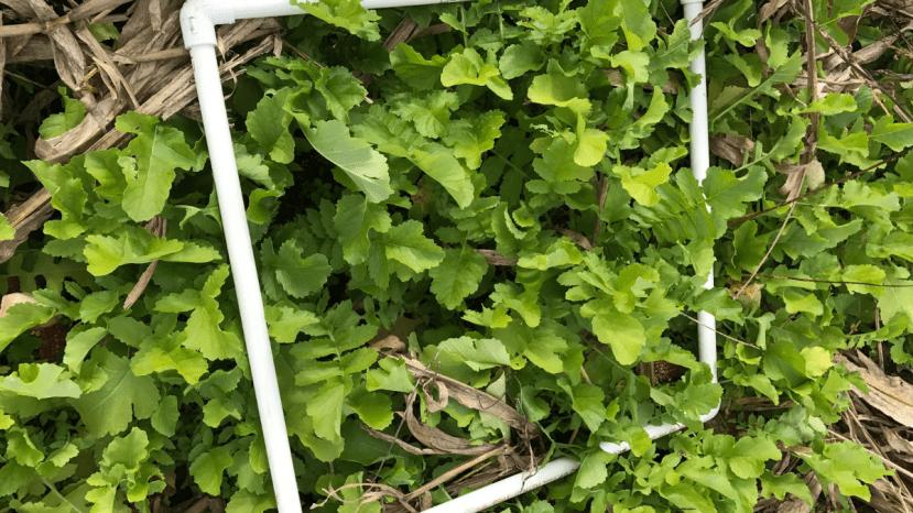 radish crops