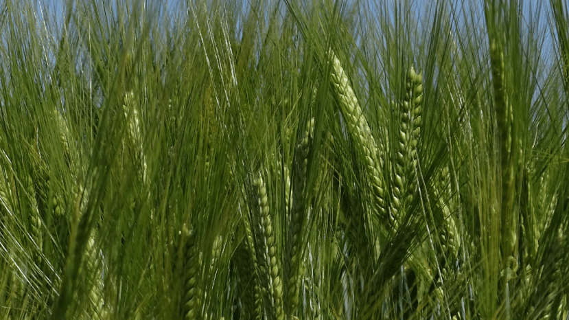 barley grains growing in field
