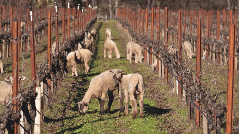 sheep grazing in vineyard