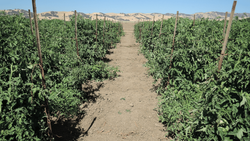organic fresh tomato plants tied to stakes for ease of harvest