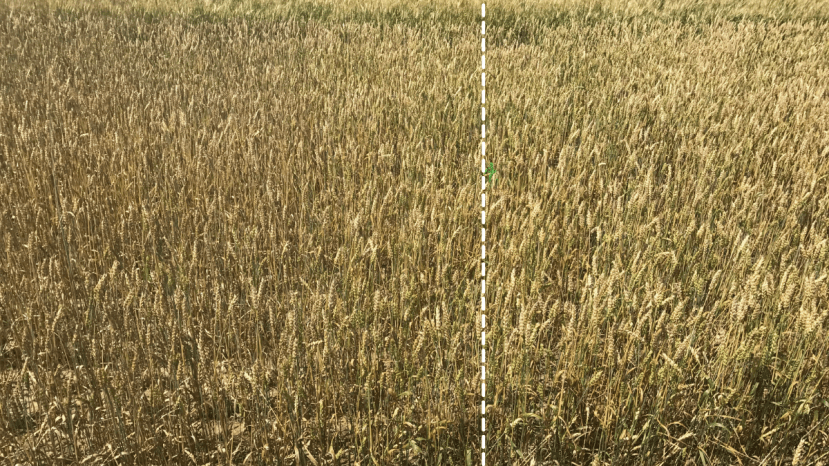 wheat field and vertical line showing the differences in color between unhealthy and healthy areas due to fungicide spray