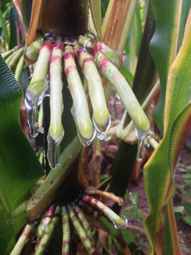 Finger-like aerial roots on corn stalk. The roots are covered with a clear gel called mucilage, a sugary mix that attracts microbes.