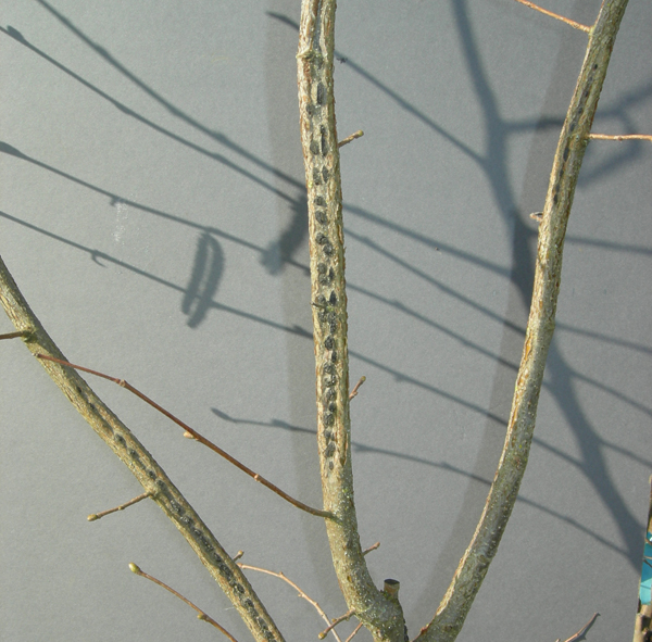 Three greyish branches showing dark grey spots of blight disease.