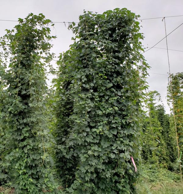 Green vine-like hop plants growing upright.