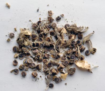 romaine seeds