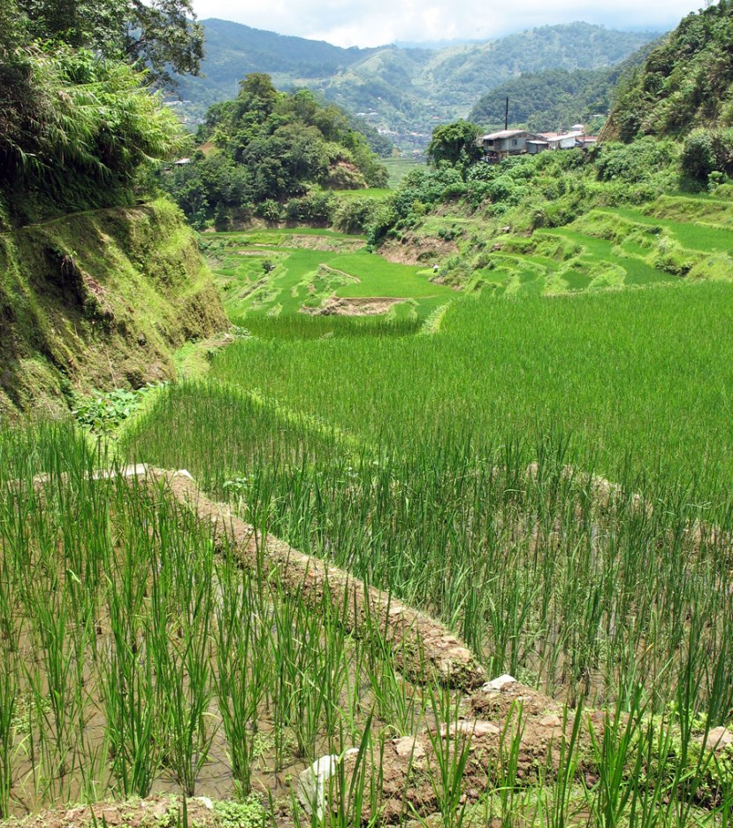Criss crossing terraces of green blades of rice plants along a mountain edge with mountains behind