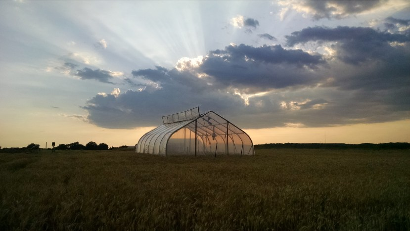 A clear-walled tent on a wheat research plot with sunbeams showing through clouds