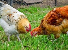 Benefits of raising chickens