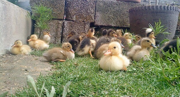 Homestead livestock - ducks