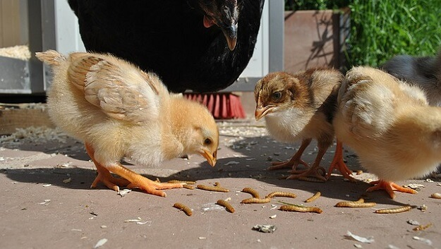 Cheaper ways to feed your chickens