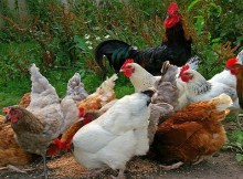 Feeding your chickens naturally deworming foods