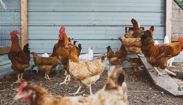 How to build a basic chicken coop