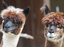 Raising alpacas for homesteaders