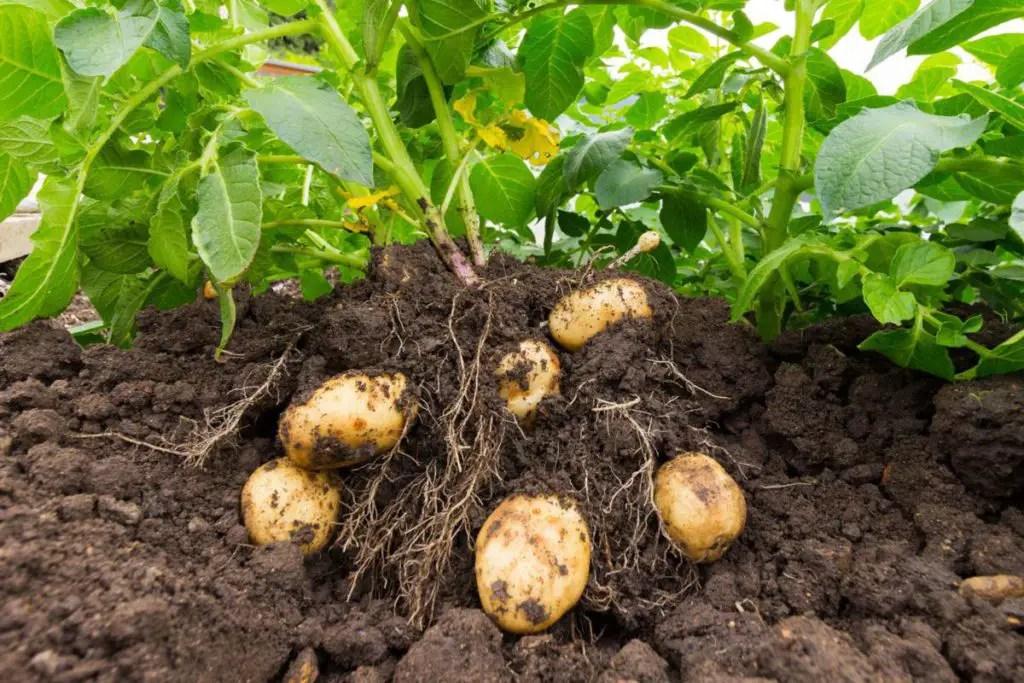 Easy edible potato plants