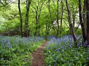 WoodlandTrustbluebellwood