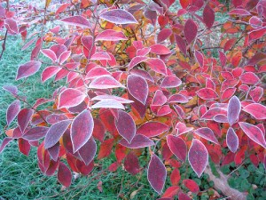 Blueberry bush with red leaves covered lightly in frost