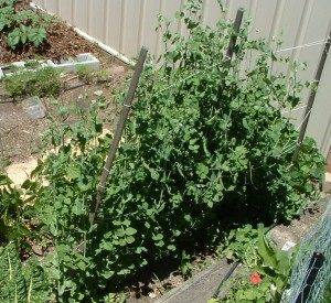 Peas grow on a trellis - seen from above