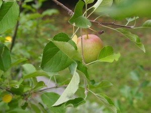 a single apple hanging from a branch of an apple tree