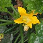 a zucchini plant photographed from above, with an open bright orange flower and a small zucchini ready for harvesting