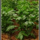 Lush potato plants growing in a no dig garden