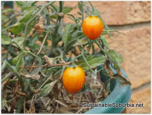 a small tomato plant in a hanging pot, with two globe shaped striped tomatoes.
