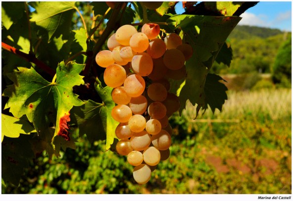 Grapes - Sweetness by Marina Del Castell (Flickr) | Sustainable Suburbia